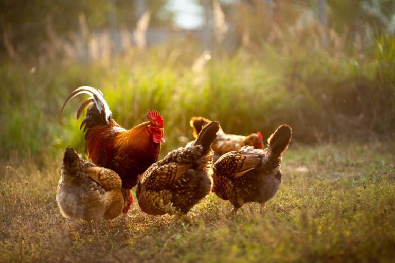 Chickens in nature by Alpine Foods